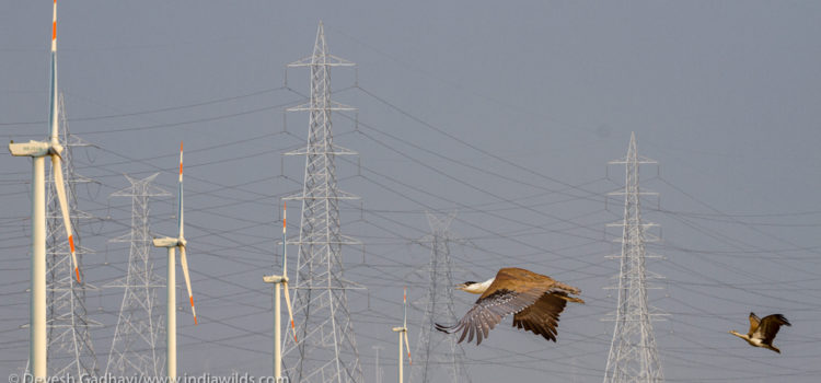 The Last GIBs of Gujarat By Devesh Gadhvi The Great Indian Bustard, popularly known by the short-form GIB, is a majestic but threatened Indian bird. Today less than 250 GIBs are left on the face […]