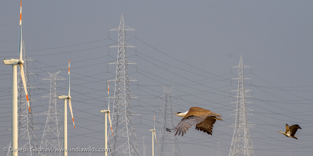 Great Indian Bustards are known to die in collisions with powerlines