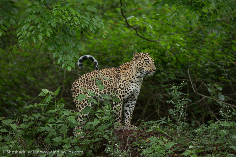 Leopard gets up sensing an opportunity