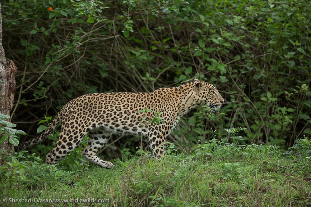 Leopard starts stalking