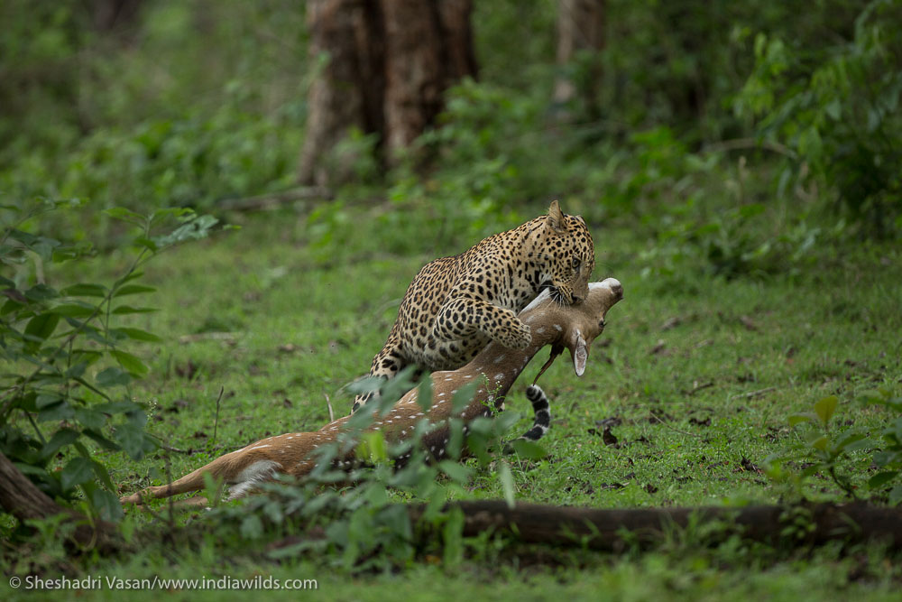 Leopard dragging its kill into the bushes