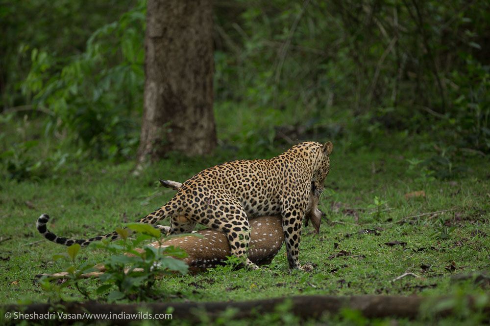 Leopard dragging away the kill into safety for feeding