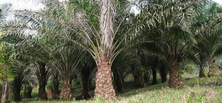 Oil Palm cultivation to devastate the Andamans