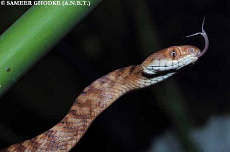 Andaman Cat Snake / Boiga andamanensis