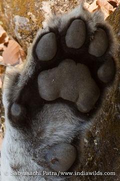 Tiger pugs