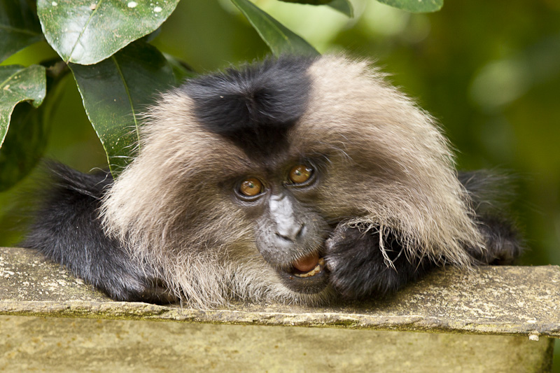 A young Lion Tailed Macaque in Western Ghats, India