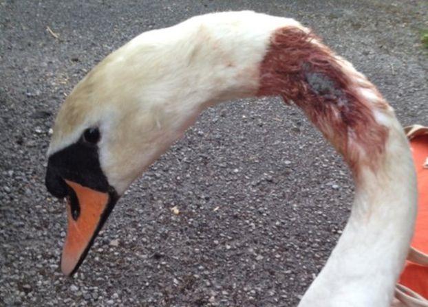 swan shot with an air gun