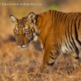 IndiaWilds Newsletter Vol. 5 Issue IX Big Hairy Audacious Goal to Save the Tiger The Project Tiger was started when across India hunters were indiscriminately shooting down tigers. This hunting pressure was tremendously increased by […]