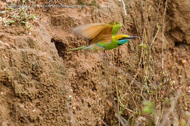 Bee eater flying out of its nest on a cliff