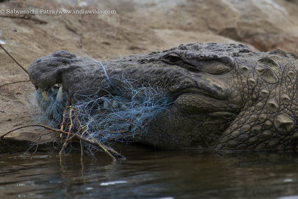 Marsh Crocodile entangled in fishing net