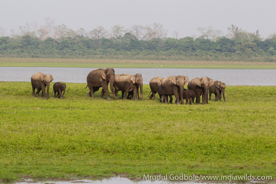 Elephant herd crossing a river in Assam. These traditional migratory corridors are under threat. Emperical observations suggest the herd sizes have reduced