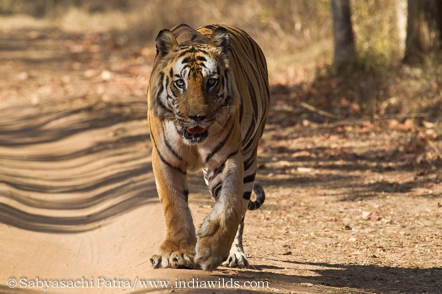 Wild India Tiger B2