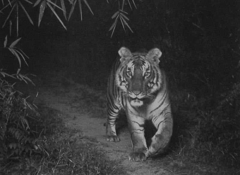 F. W. Champion's Tiger
