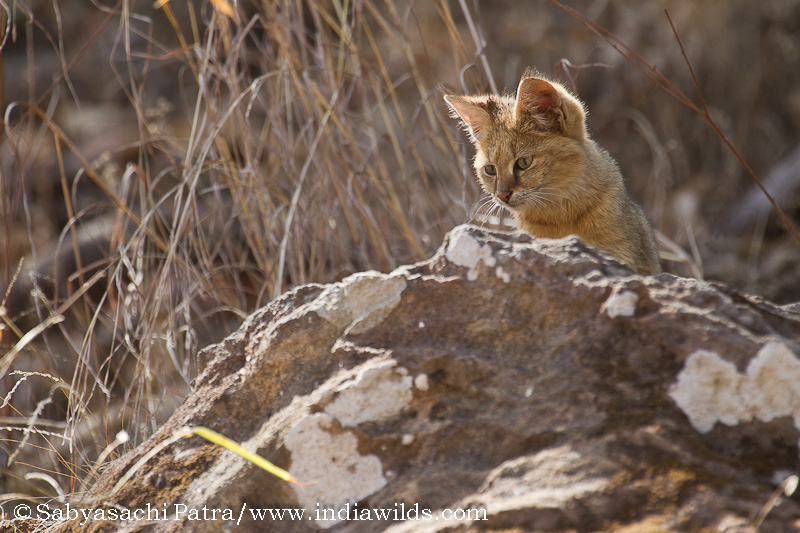 Wild India - A Jungle Cat in Bandhavgarh Tiger Reserve