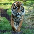 IndiaWilds Newsletter Vol. 11 Issue II ISSN 2394 – 6946 Download the full Newsletter PDF by clicking the below button – Sumatran Tiger Death: Its time to abolish Zoos: A rare Sumatran tiger was killed […]