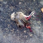 Babbler - Road Kill