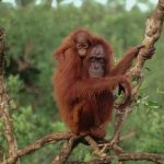 Orang-utan with baby