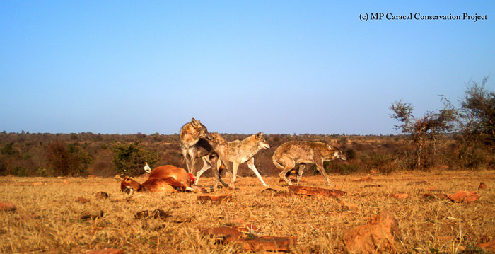 Wolves in Panna