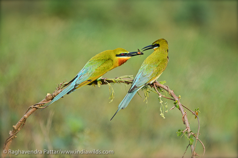 Blue Tailed Bee Eater Male offering food to the female