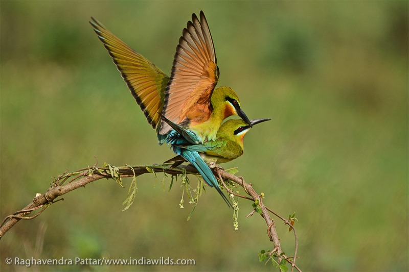 Blue Tailed Bee Eaters Mating