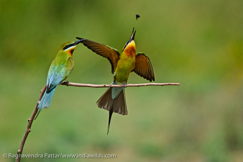Blue Tailed Bee Eater toosing insect in the air
