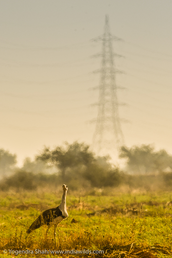 To save Great Indian Bustards powerlines need to be cabled underground or reorouted