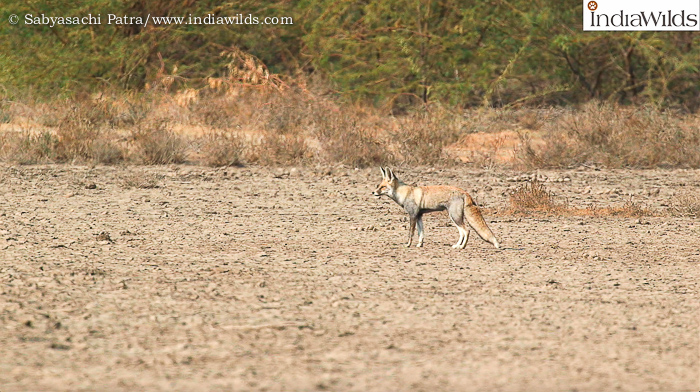 Indian Desert Fox Vulpes vulpes pusilla