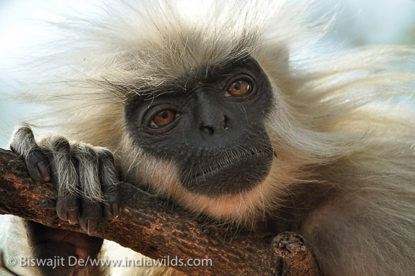 Golden Langur Portrait