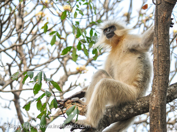 Golden Langur on tree