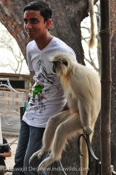 Golden Langur with People