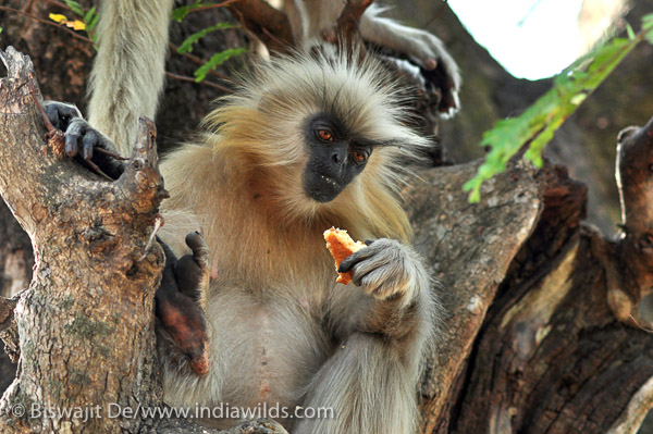 Golden Langur with Sponge Cake