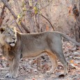 IndiaWilds Newsletter Vol.2 Issue II Asiatic Lion: The Survival Challenges The Asiatic lion is in focus now due to the opposition by the Gujarat Government to allow relocation of lions from Gir to Kuno-Palanpur area...