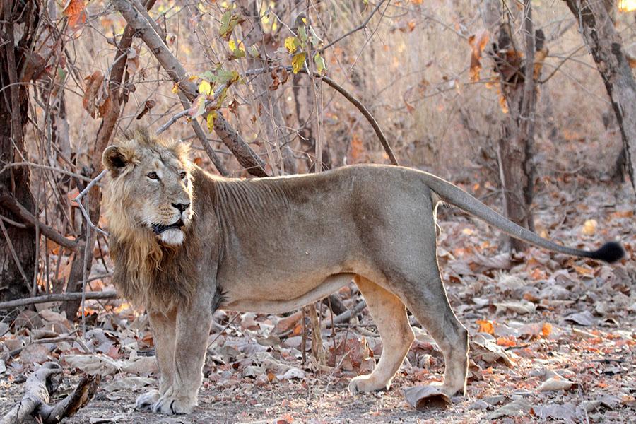 Lion cub from Gir