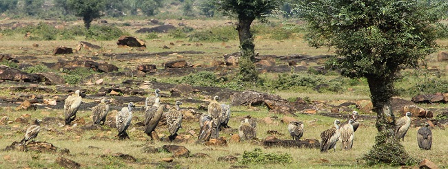 Vultures in Panna