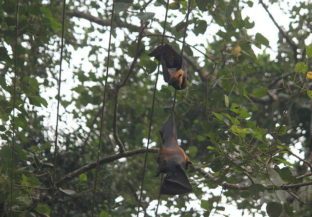 Elecrocuted flying fox - Roopak Gangadharan
