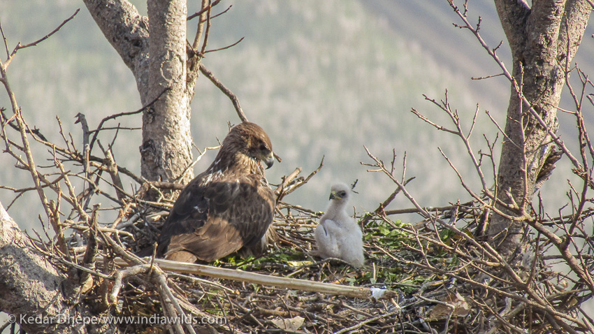 Bonellis Eagle with Chick