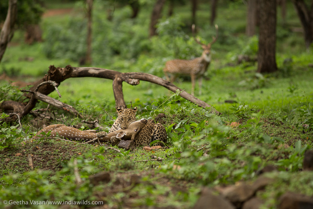 A male stag warily watches the leopard killing the deer. Deers are known to keep an eye on the predator