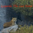 "Making of… ""Leopards: The Last Stand"" There is a significant amount of wildlife living outside our protected areas in our revenue lands. The lesser carnivores like mongoose are often ignored by people, however, when a..."