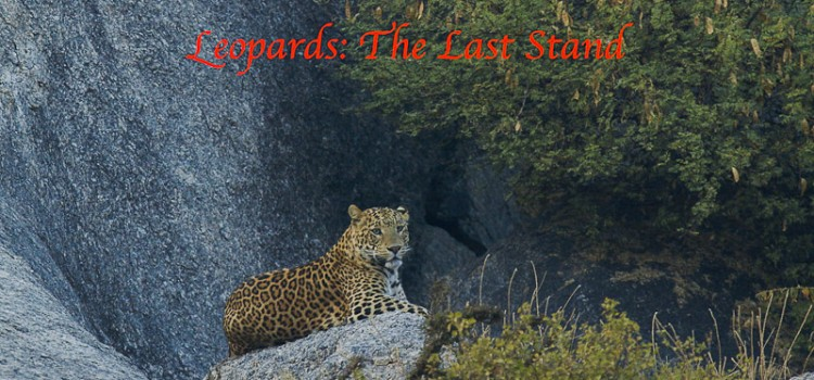 "Making of… ""Leopards: The Last Stand"" There is a significant amount of wildlife living outside our protected areas in our revenue lands. The lesser carnivores like mongoose are often ignored by people, however, when a […]"