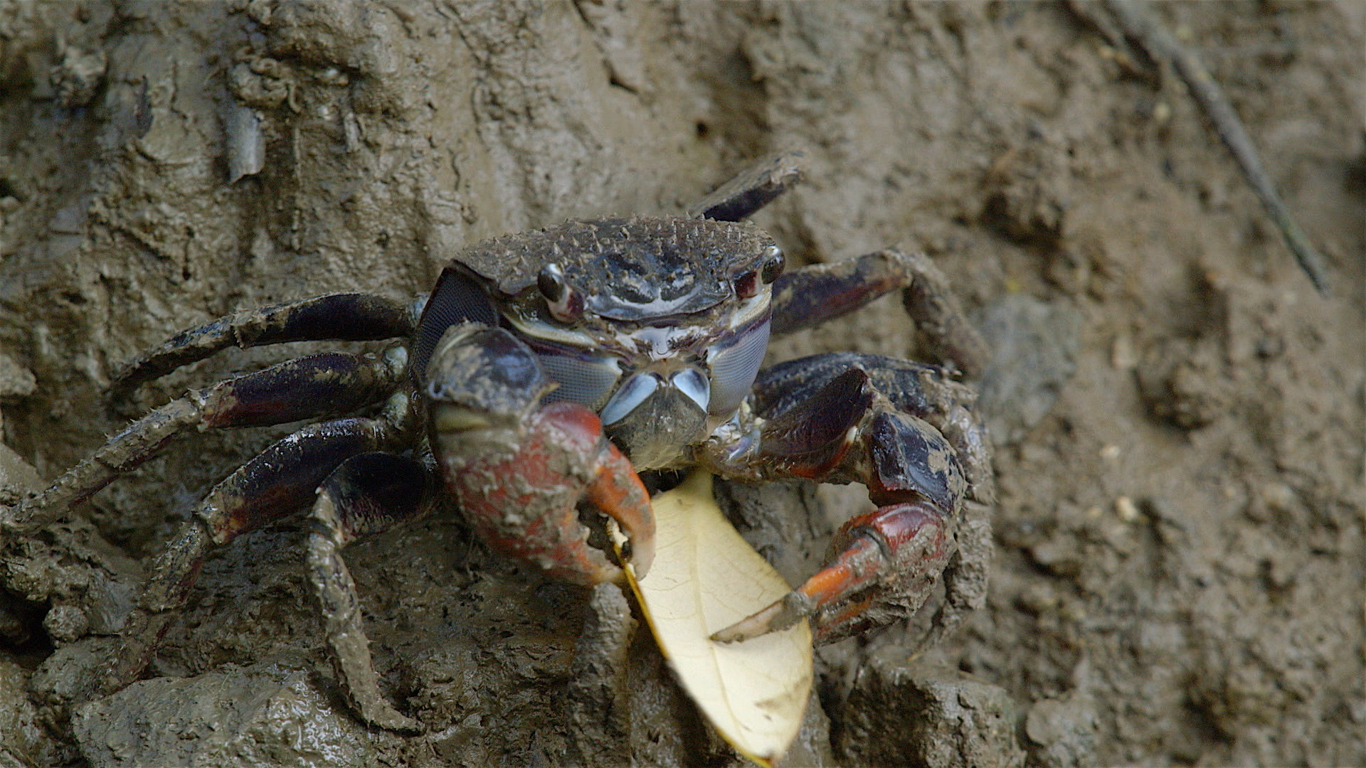 Crab carrying leaf to it burrow helping in the nutrient recycling