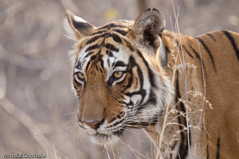 Ranthambore Collared Tigress