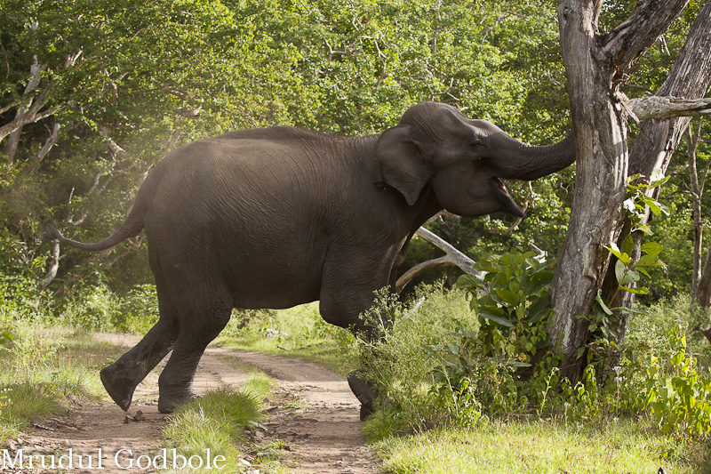 Elephant breaking a branch after a charge. A typical display of displacement behaviour