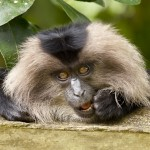 A young Lion Tailed Macaque