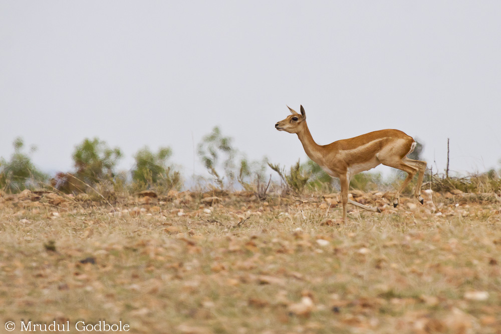 Black buck hind