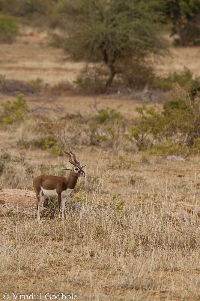 Black buck in grassland habitat