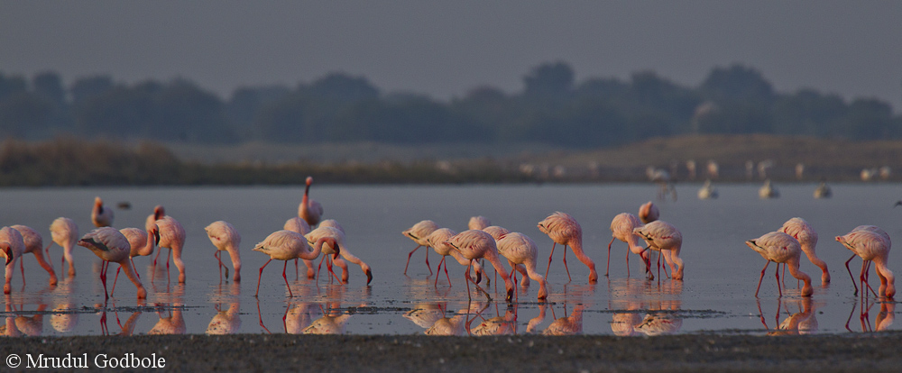 Flamingos in Little Rann of Kutch