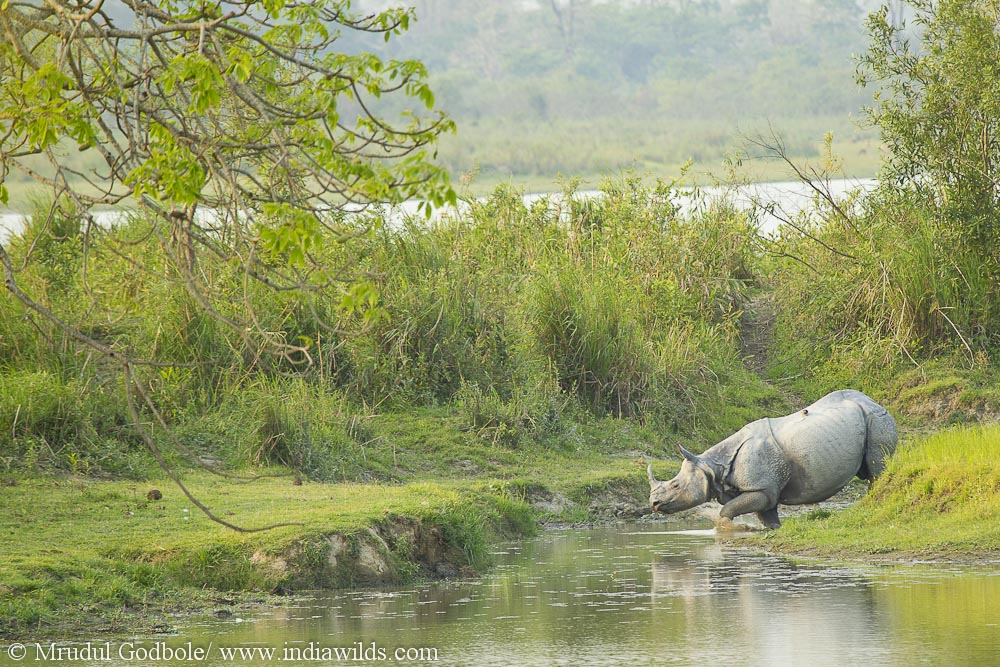 Indian Rhinoceros from Kaziranga National Park
