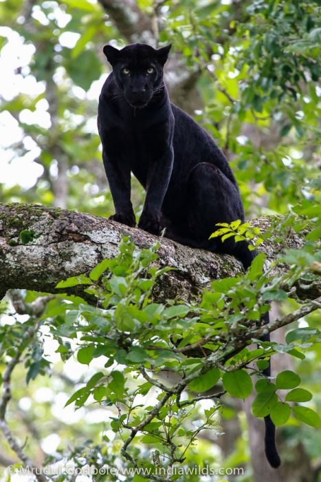 Mesmerising gaze of a Black Panther