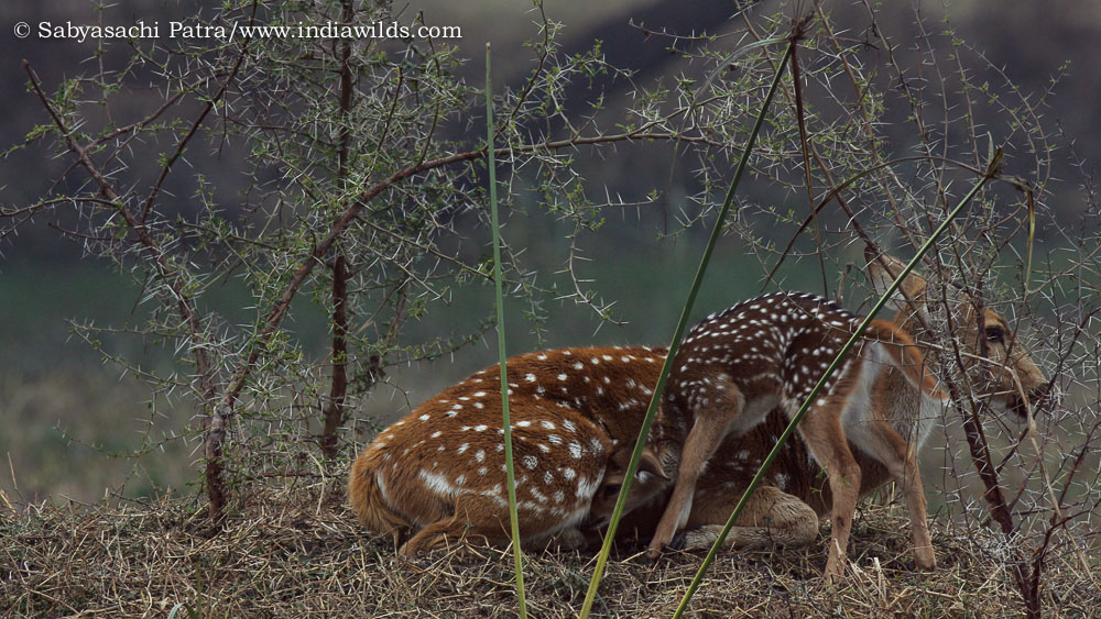 Chital Mother & Child