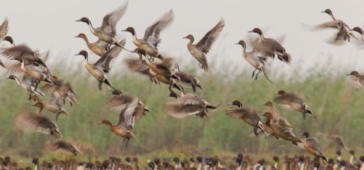"""Wetlands – An Eternal Abode for Avifauna byDr. Hiren B. Soni Wetlands: An Introductory Approach The term """"Wetland"""" is used for diverse habitats in different climatic zones of the earth, which is indeed difficult to […]"""